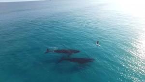 Surfeur rencontre deux baleines